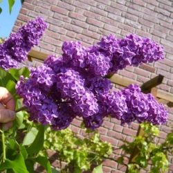How To Prune Lilacs For Bigger Blooms: Blooming in spring, lilac flowers are big, beautiful and fragrant, making the lilac one of the most recognizable...