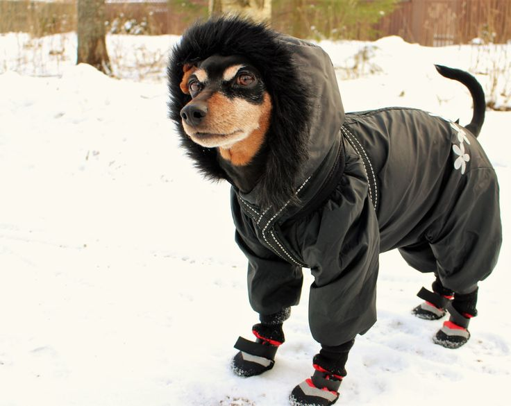 Min pin Ulpu is ready for a winter walk