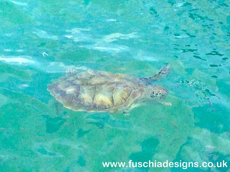 We were lucky enough to see a turtle at the oistins jeti at the fish market.  By www.fuschiadesigns.co.uk.