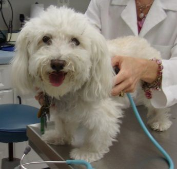 Mr. Noodle in VA is available for Adoption from Havanese Rescue - July 2014  http://www.havaneserescue.com/index.php/our-rescue-dogs/available-for-adoption/1239-mr-noodle-in-va and https://www.facebook.com/Havaneserescue/photos/a.147202781997479.41503.114120341972390/804561796261571/?type=1&theater