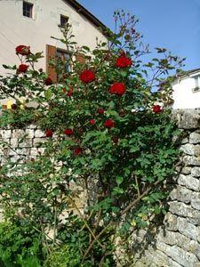 Les 25 meilleures id es concernant rosier grimpant - Tailler les rosiers ...