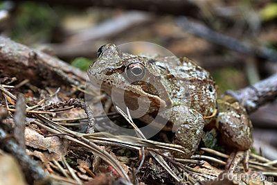 Rana arvalis in summer forest - moor frog