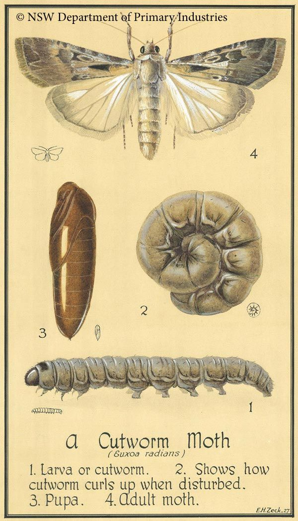 Illustration of Cutworm moth :: Insect identification for the garden