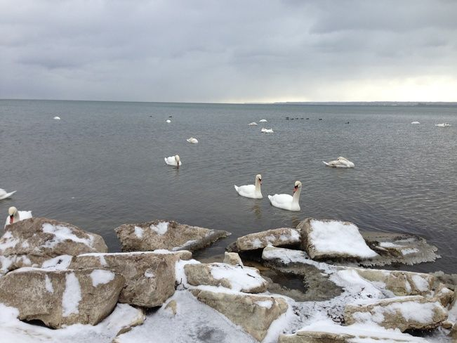 Swans, Burlington Ontario