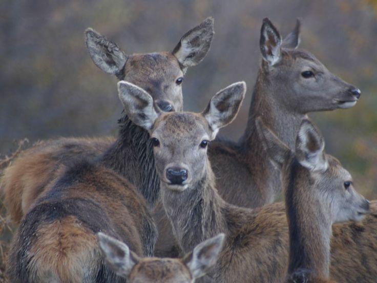 Parco Nazionale del Gran Sasso e Monti della Laga   Territorio e Natura   Fauna   I grandi mammiferi