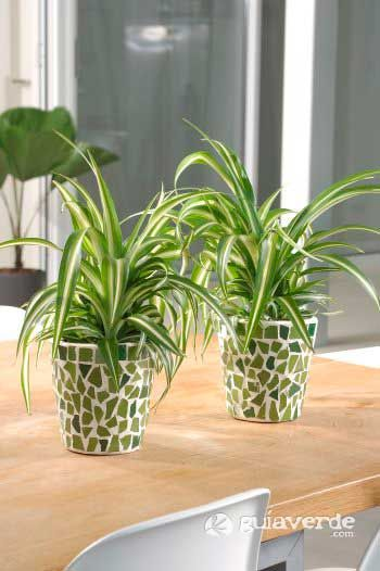 Cinta lazos de amor chlorophytum comosum 39 variegatum - Cinta planta ...