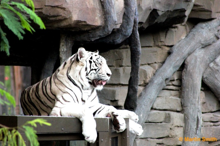 Tiger taking it easy