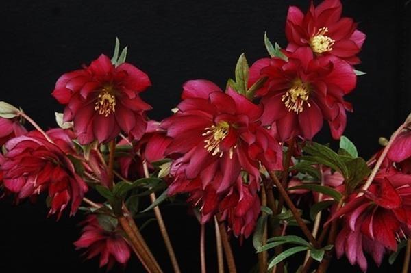Helleborus hybridus Red Sapphire