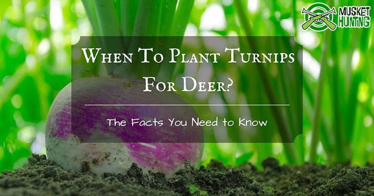 When To Plant Turnips For Deer The Facts You Need To Know Turnip Food Plot Hunting