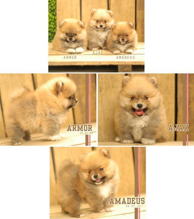 Jual Anjing Mini Pomeranian - Anjing Dijual - AnjingKita.Com  http://www.anjingkita.com/wmview.php?ArtID=21274