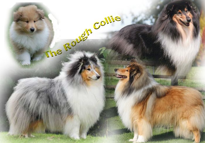 Collienet.com- ALL ABOUT THE ROUGH COLLIE