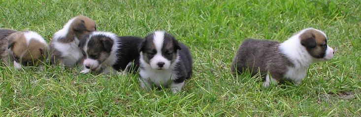 Corgi puppies, they are so sweet at this age!