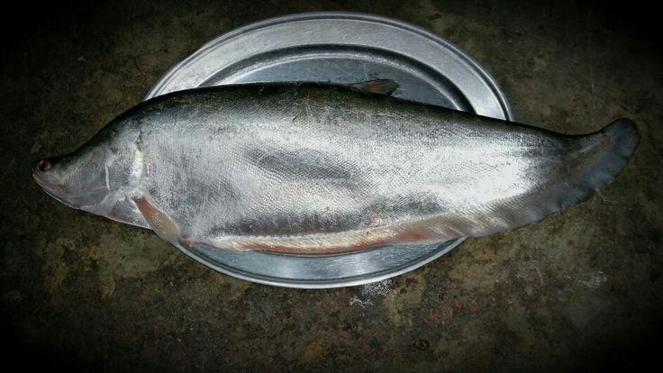 27th April/16. Chitol fish.