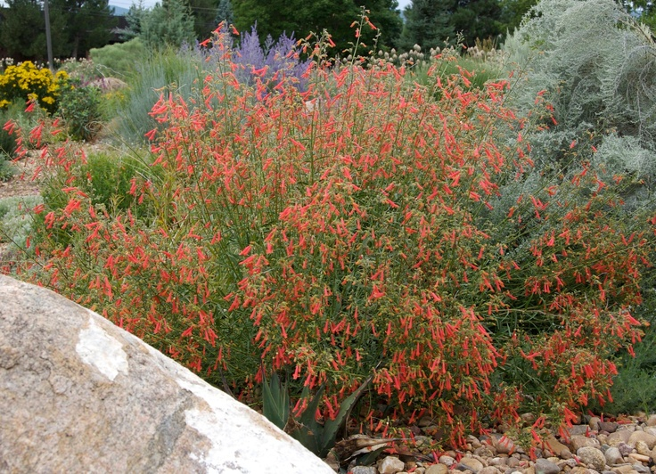 Bridges' Penstemon (Penstemon rostriflorus) is characterized by dark evergreen foliage covered with a constant succession of scarlet trumpet flowers through the hot summer months. It is long lived and durable under a wide range of climatic conditions. Perennial. http://plantselect.org/plant/penstemon-rostriflorus/