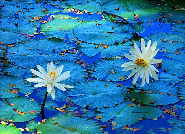 Waterlily in Blue | Flickr - Photo Sharing!