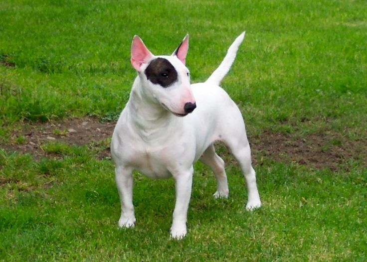 Miniature Bull Terrier Puppies CA | the mini bull terrier is a descendant of the english bulldog and the ...