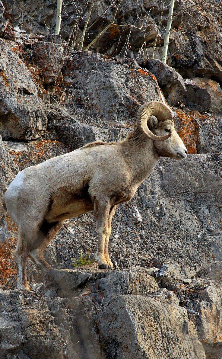 102 best Big Horn Sheep images on Pinterest | Big horn sheep ...