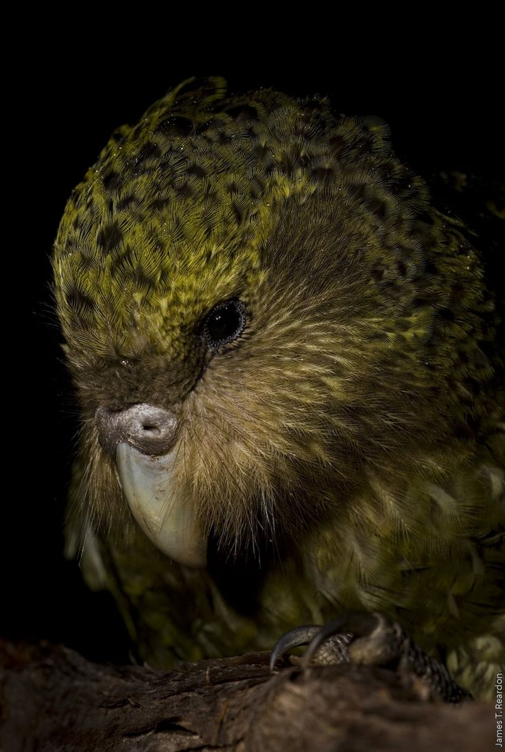 Kakapo Parrot. One of the rarest birds of all is New Zealand's kakapo.