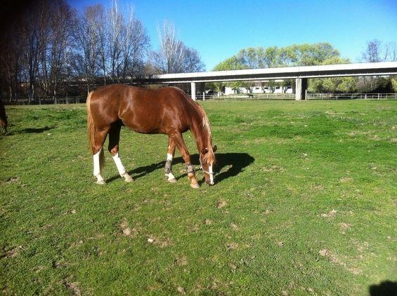 Venta de caballos, ponis, potros y yeguas. Busca y encuentra gran variedad de caballos en venta en Comunidad de Madrid, el portal líder en España en compra y venta de caballos.