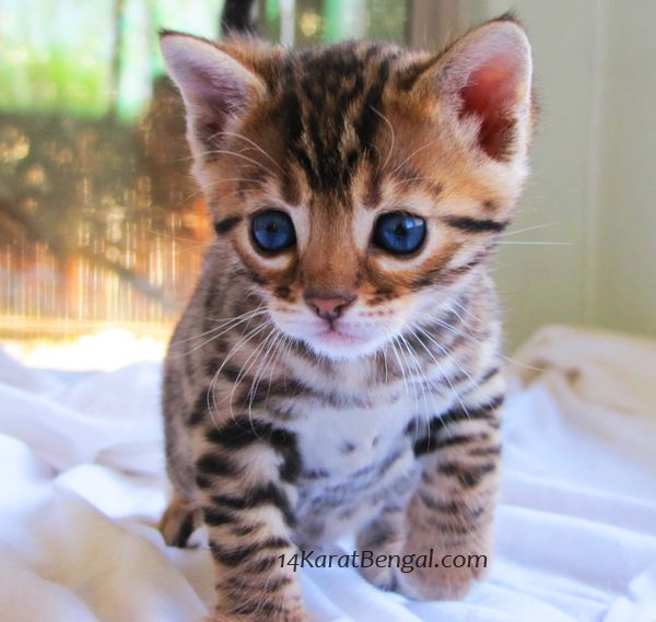 Bengal Cats For Sale Pretoria
