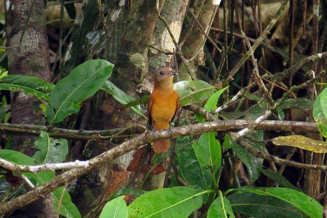 Foto flautim-ruivo (Schiffornis major) por Tomaz Melo | Wiki Aves - A Enciclopédia das Aves do Brasil