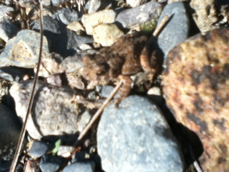 A small toad about the size of your index finger Nail