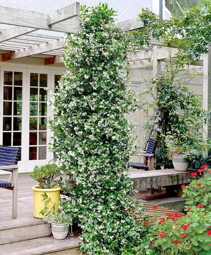 Italiaanse jasmijn ....Trachelospermum jasminoides 'Sunlover'