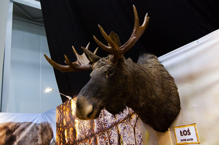 Moose trophy seen during Polish Hunting Fairs - Hubertus EXPO 2015. Hunt beautiful beasts of the wild with us!
