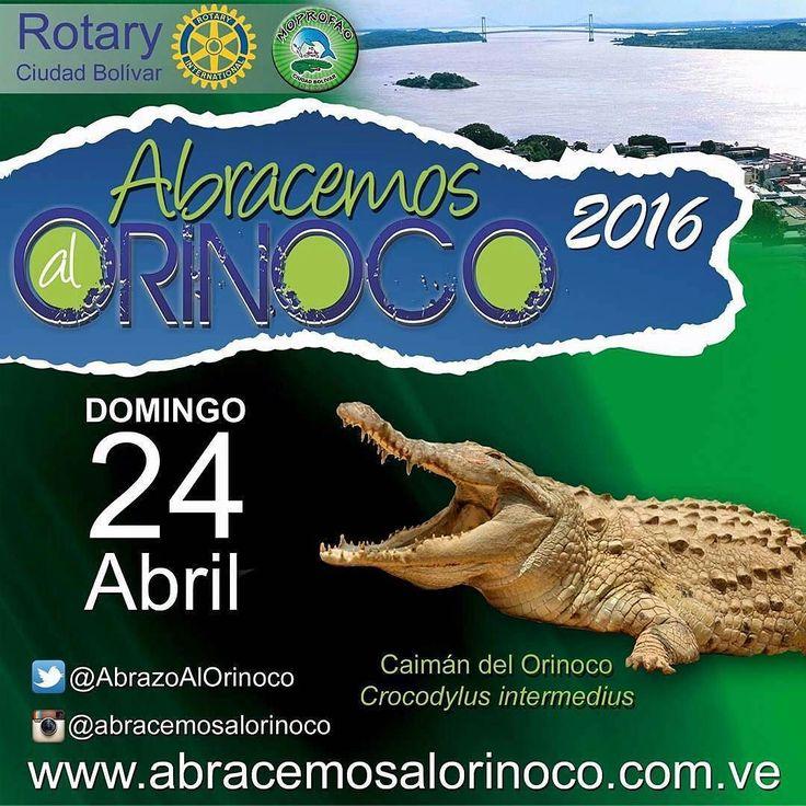 @Regrann from @moprofao -  El caimán del Orinoco es una de las especies de cocodrilos más grandes del mundo llegando los adultos a alcanzar los 6-7 metros de longitud total. Su color puede sufrir variaciones con la edad.  Es una de las especies más agresivas del ecosistema se encuentra bajo protección especial por ser una de las doce especies animales más amenazadas de extinción.  El espécimen silvestre más grande capturado vivo midió 440 m de longitud en el Río Zuata afluente del Orinoco en…