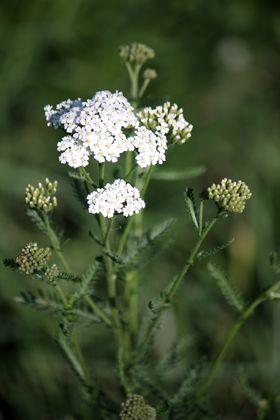 CICKAFARK Latinnév: Achillea millefolium Családnév: Fészkesvirágzatúak családja