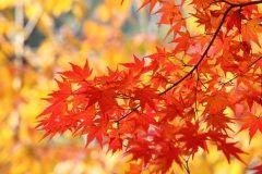 第回さばえもみじまつり西山公園で開催  約1600本ものもみじが並ぶ圧巻の風景は日本の歴史公園100選に入るほど  もみじが散る前に行ってみてはいかがですか tags[福井県]