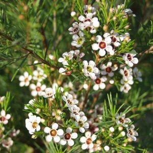 Chamelaucium uncinatum - Geraldton Wax