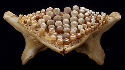 Pharyngeal teeth from a freshwater drum things bone for Freshwater fish with teeth