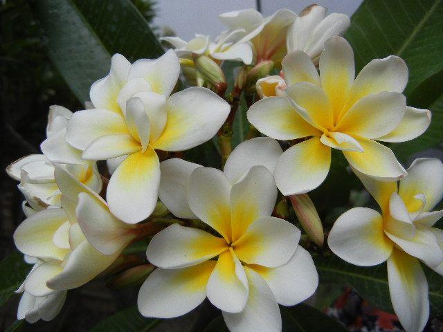 Plumeria Bali Wirl