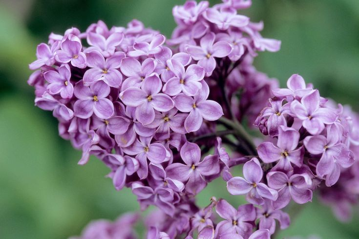 With their lush blooms and deeply floral fragrance, lilacs are a harbinger of summer in the northern garden.