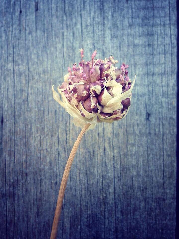 garlic, iPhone , art
