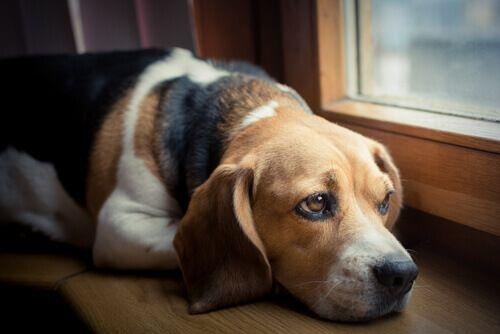 cão-expressa-a-dor