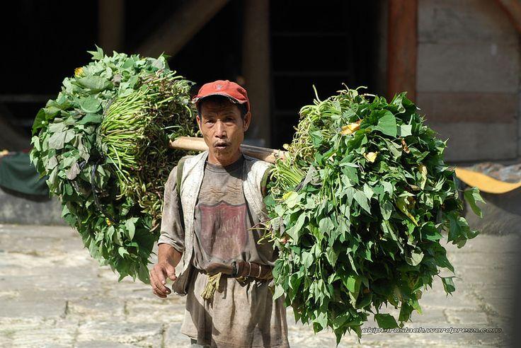 Seorang Petani memanggul Daun Ubi untuk digunakan sebagai makanan Babi.  Lokasi: Desa Hilimondregeraya, Nias Selatan.