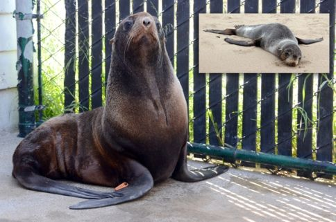 Ziggy Star, a northern fur seal, seal of the year!