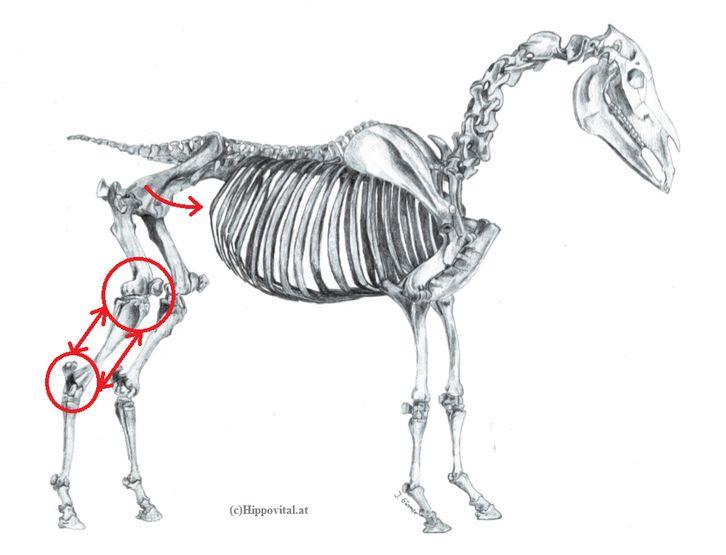 Hankenbeugung Pferd
