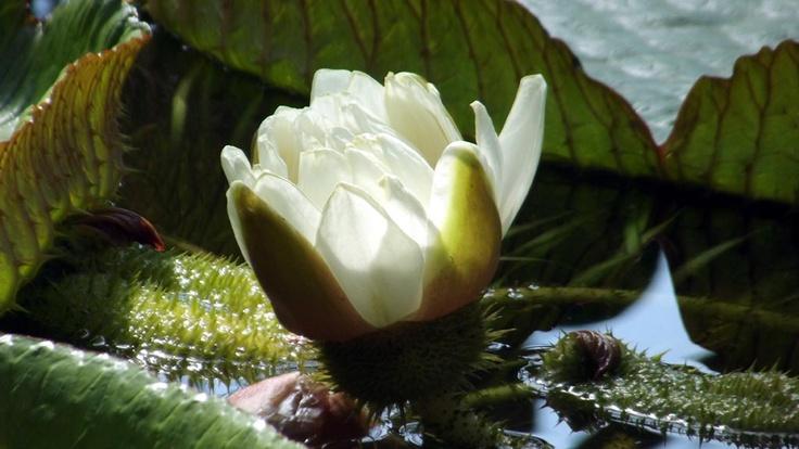 Nufărul din Grădina Botanică