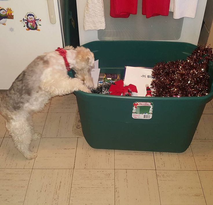 """7 Likes, 2 Comments - for the love of fox terriers (@foxterriergirl_abby) on Instagram: """"I know my stocking is in the Christmas box """""""