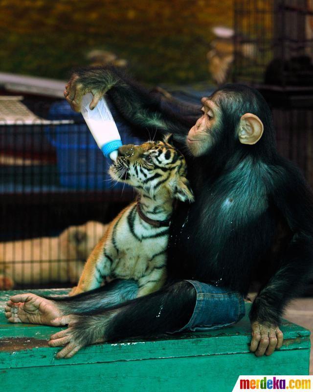 Seekor simpanse memberikan minuman susu kepada anak harimau, keduanya tampak saling akrab bermain duduk di sebuah meja kebun binatang Thailand.