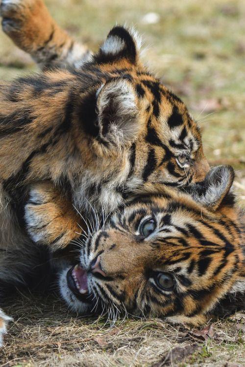 Playing Sumatran tiger cubs.