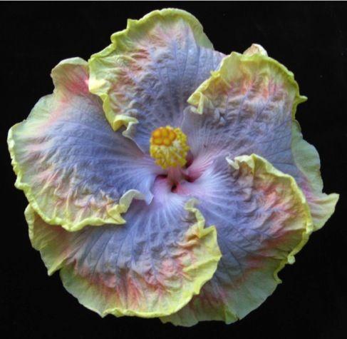 Kaleiʻs Rainbow Tropical Hibiscus....gorgeous