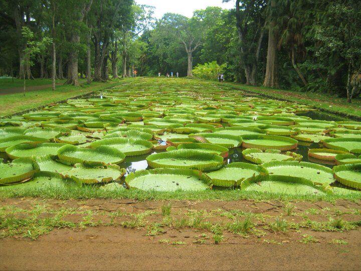 Pamplemousse botanical gardens, Mauritius