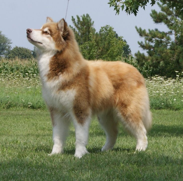 Red Giant Alaskan Malamute | DOGS AND PUPPIES I LOVE THEM ...