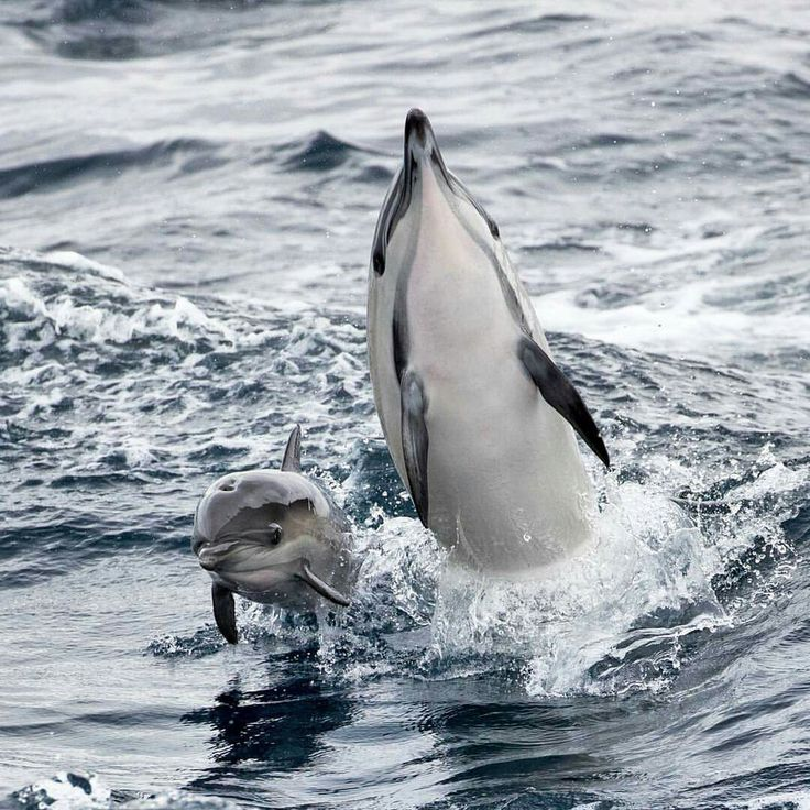 www.pegasebuzz.com | Dauphins, dolphins.                                                                                                                                                                                 More