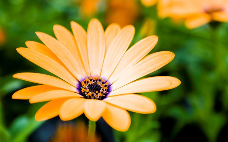 1920x1200 daisy flower hd background wallpaper free download