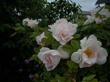 """NEVADA Denne spanske skjønnheten fra 1927 er en ener, og de store hvite til sart rosa doble blomstene er et syn når busken står i full blomst. I likhet med Aicha begynner den å blomstre tidlig. Man kan lese i rosebøker at gjenblomstringen er noe sparsom. Dette er løgn. Hos meg holder den det gående hele sesongen igjennom mer eller mindre uten stans. Blomstene har kun svak duft, men de tar det igjen i skjønnhet. Hos meg får busken av og til litt """"bakoversveis"""" av nordvesten slik at den ikke…"""